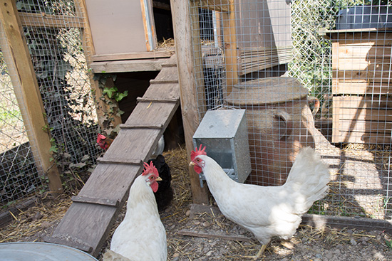 réduire ses déchets grâce aux poules